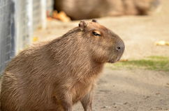 Capybara, Royalty Free Stock Images