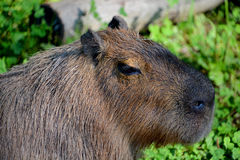 The capybara Stock Photos