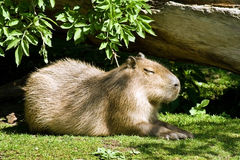 Capybara - the largest living rodent in the world stock photos