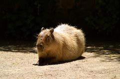 The capybara is the largest living rodent. In the world. The capybara is not a threatened species Stock Photos