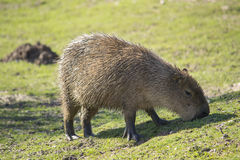 Capybara. The largest rodent on the Earth, Capybara eating grass Stock Photo