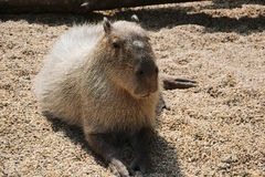 Capybara. The capybara  is the largest rodent in the world, followed by the beaver, porcupine, and mara. Its closest relatives are guinea pigs and rock cavies Royalty Free Stock Images