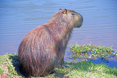 Capybara, the largest rodent of the world Royalty Free Stock Photo