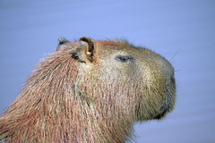 Capybara, the largest rodent of the world Stock Image