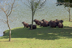Capybara, the largest rodent in the world Stock Image