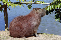 Capybara, the largest rodent in the world Stock Photography