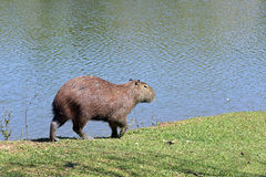 Capybara, the largest rodent in the world Royalty Free Stock Image
