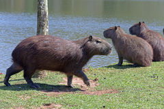 Capybara, the largest rodent in the world Stock Images