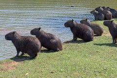 Capybara, the largest rodent in the world. ITATIBA, SP, BRAZIL - AUGUST 8, 2015 - Capybara, Hydrochoerus hydrochaeris, the largest rodent in the world Royalty Free Stock Images