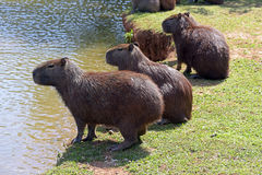 Capybara, the largest rodent in the world Royalty Free Stock Images