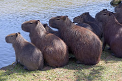 Capybara, the largest rodent in the world Stock Photo