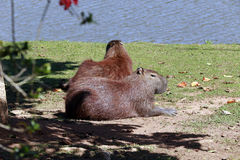 Capybara, the largest rodent in the world Royalty Free Stock Photos