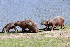 Capybara, the largest rodent in the world Royalty Free Stock Photo