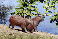 Capybara, the largest rodent in the world Royalty Free Stock Photography