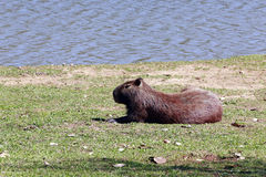 Capybara, the largest rodent in the world Stock Photos