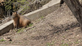 Capybara 1 stock footage