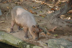Capybara - the largest of the rodents. In the wild Royalty Free Stock Image