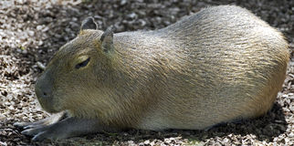 Capybara 8 Royalty Free Stock Image