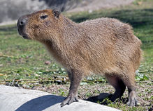 Capybara 12 Royalty Free Stock Photography