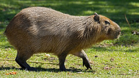 Capybara 14 Royalty Free Stock Image