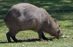 Capybara 15 Stock Image