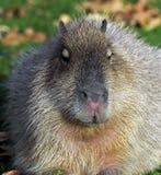 Capybara 17 Stock Image