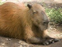 Capybara laying down Stock Photo
