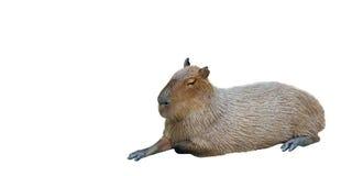 Free Capybara Lie Down On White Background Stock Image - 96077641