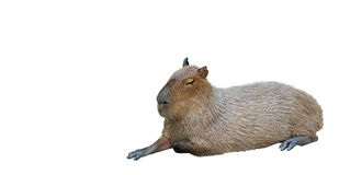 Capybara Lie Down on White Background Stock Image