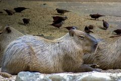 A capybara lying on the ground stock images