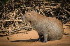 Capybara in nature Royalty Free Stock Photos