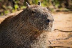 Capybara in nature Stock Photos