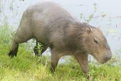 Capybara masculino Fotografia de Stock