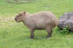 Capybara in the meadow. Eating Royalty Free Stock Images