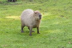Capybara in the meadow. Eating Stock Images