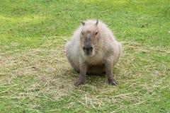 Capybara in the meadow. Eating Royalty Free Stock Photos