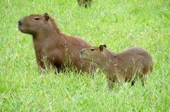 Capybara mit kleinem Baby auf grünem Gras Lizenzfreie Stockfotografie