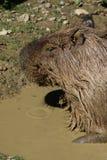 Capybara in modderwater royalty-vrije stock foto