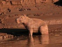 Capybara in morning light. Capybara sitting on the edge of the Tambopata river in the amazon rainforest, Peru Royalty Free Stock Photo