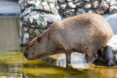 Capybara, Moscow Zoo, Russia Stock Photography