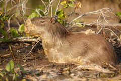 Capybara in Mud Bubble Bath Royalty Free Stock Photography