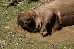 Capybara in mud water Stock Image