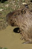 Capybara in mud water Royalty Free Stock Photo