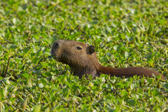 Capybara Munching in Sea of Hyacinths. A capybara is seen munching on green leaves of water hyacinths , a sea of which it appears to be floating in stock photo