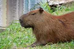 Capybara nahe See Stockbilder