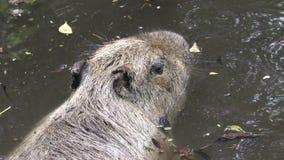 Capybara in natural environment 4K stock video footage