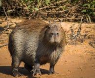 Capybara in nature Royalty Free Stock Photo