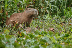 Capybara in the nature habitat of northern pantanal. Biggest rodent, wild america, south american wildlife, beauty of nature, giants Royalty Free Stock Image