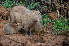 Capybara in the nature habitat of northern pantanal Royalty Free Stock Photo