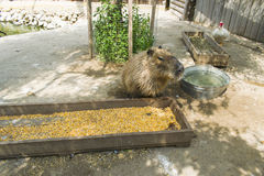 Capybara, near the feeder. Capybara, Hydrochoerus hydrochaeris, in the protected area Stock Photography